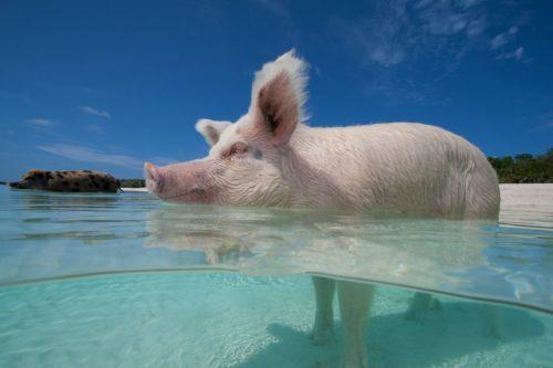 Bahamas Yacht Charter Pig