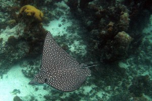 Diving in the mediterranean eagle rays in caves