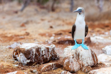 Luxury yacht charter Galapagos. Blue-footed Boobie