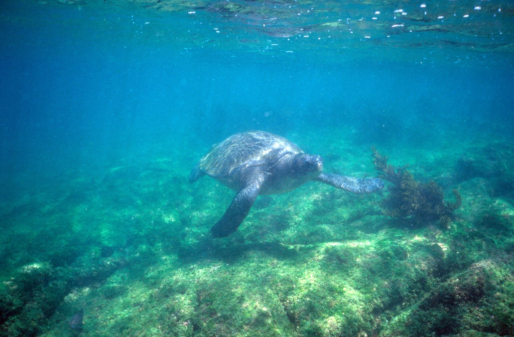 Galapagos blue sea turtle grazing in shallow water