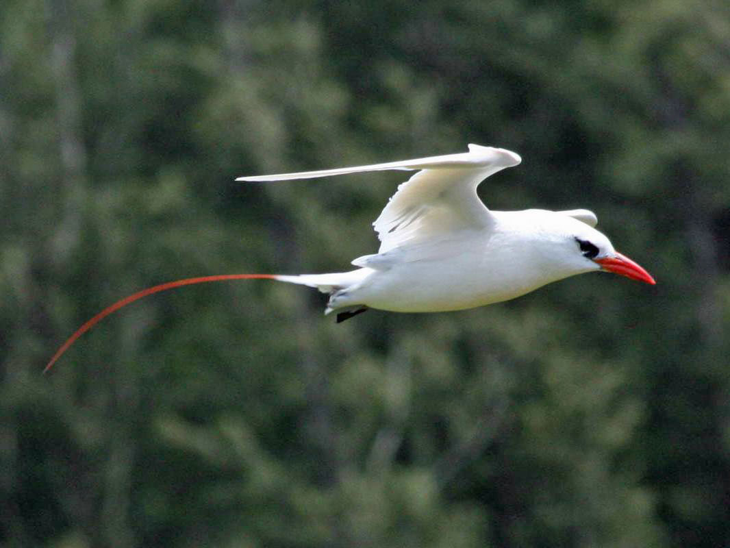 Red tailed Tropicbird Galapagos Islands