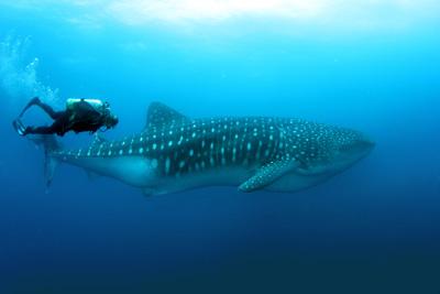 Galapagos luxury yacht charter. Whale Shark.