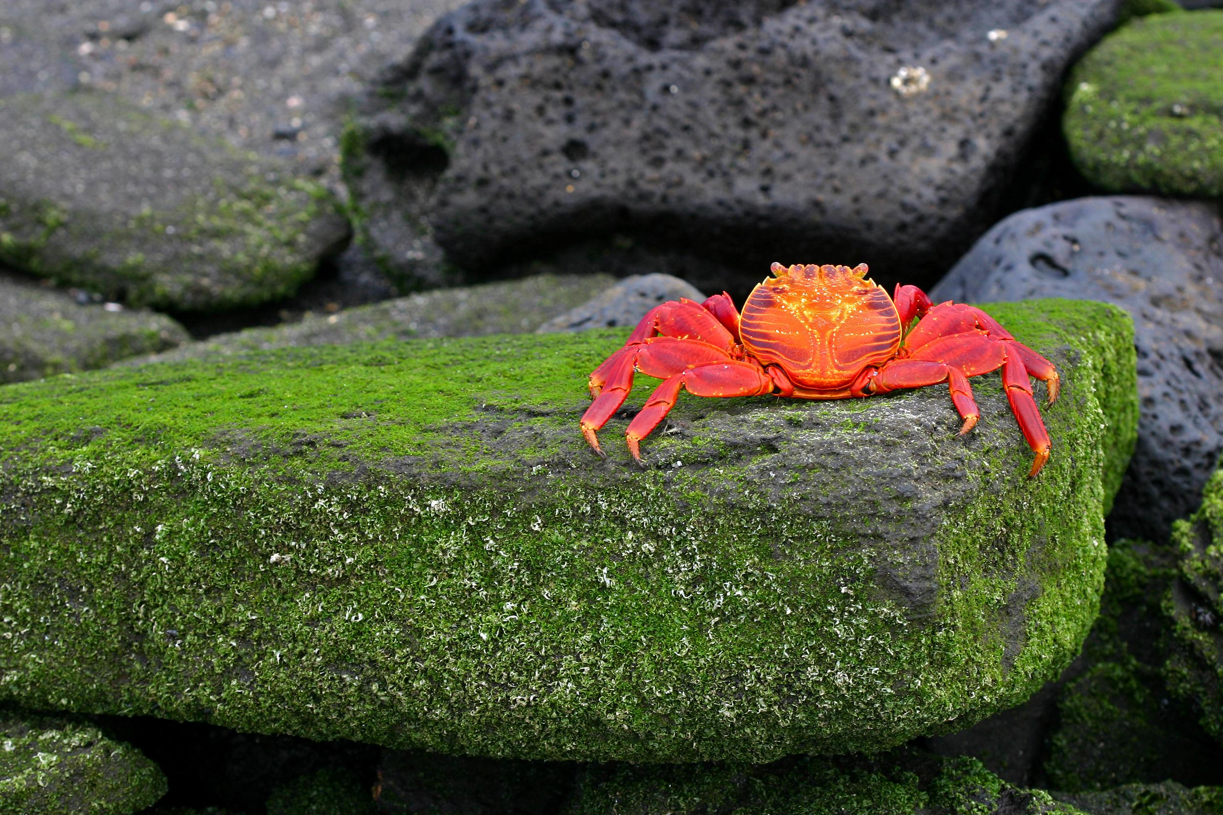 Luxury Yacht Charter Galapagos. Crab.