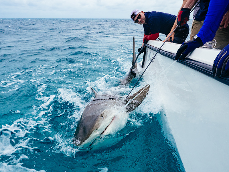 Shark Research Expedition Onboard M/Y MARCATO