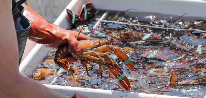 Lobster is essential on a coastal Maine yacht charter