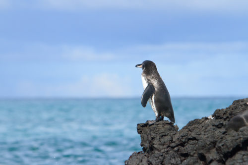A penguin seen on a Galapagos yacht charter