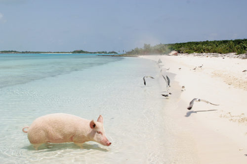 Pig on a beach on Bahamas yacht charter