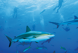 Diving with sharks on Bahamas yacht charter
