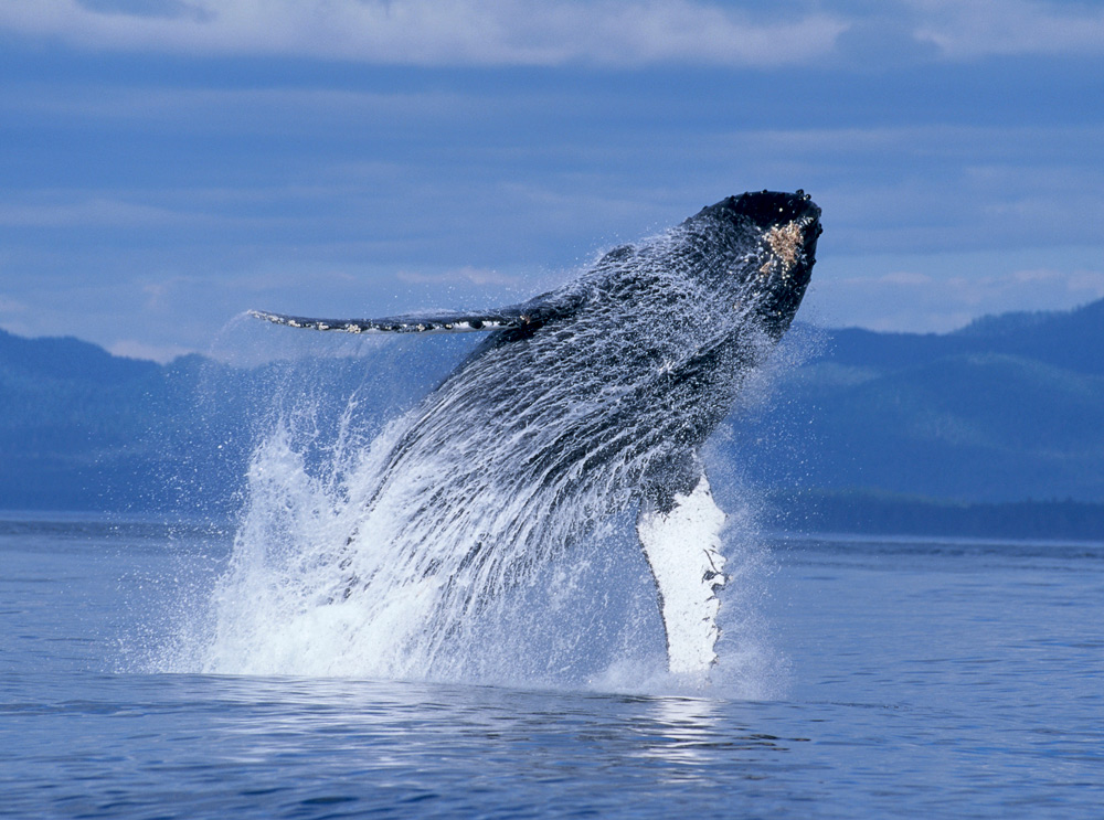Whale jumping out of the water on Alaska yacht charter