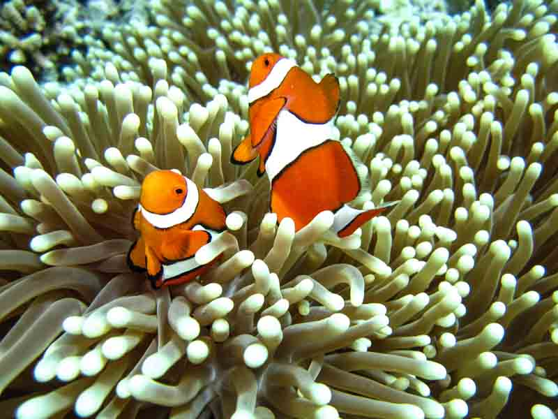 Clownfish in coral on an Australia yacht charter