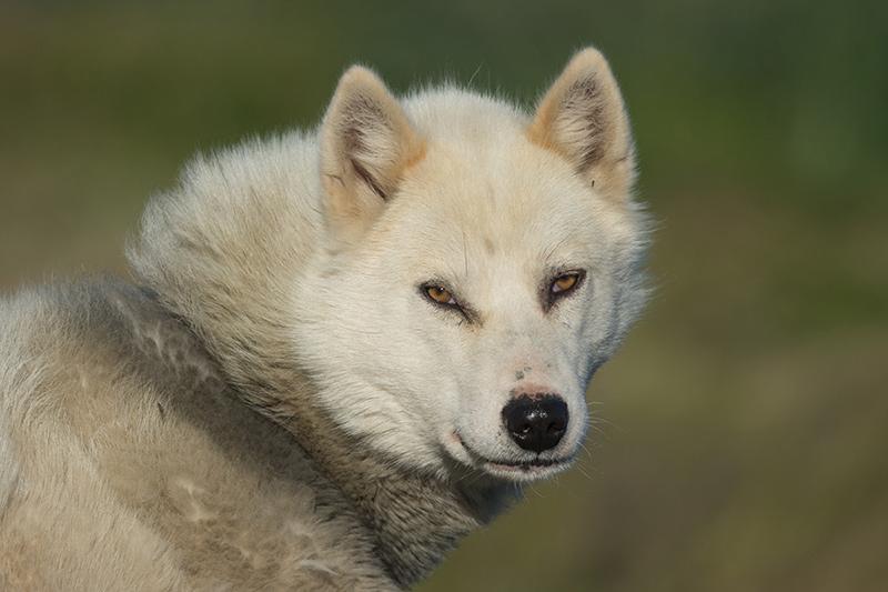 Wild husky, Greenland yacht charter