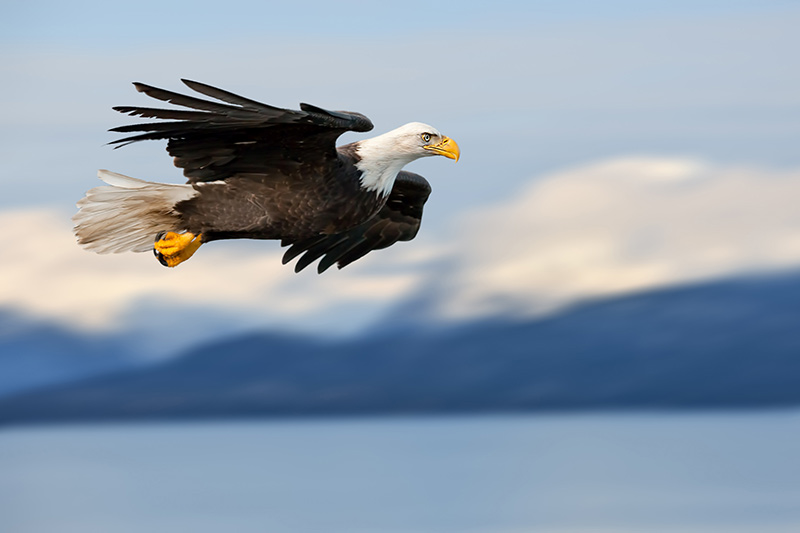 A bald eagle in Walker Cove, Yacht Charter Itinerary Alaska