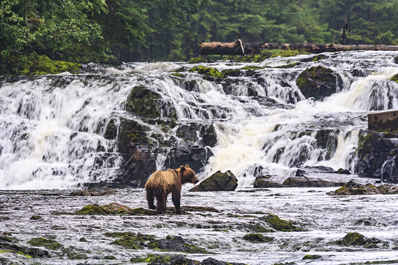 Bears in Anan Bay on a yacht charter itinerary Glacier Bay