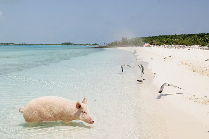 A pig on Big Major Island during a yacht charter itinerary Bahamas