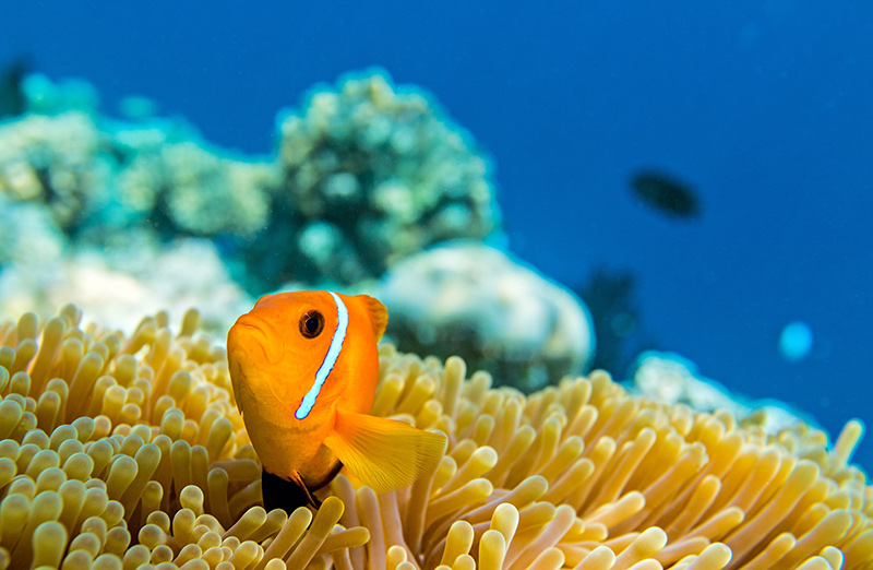 Clownfish and marine life on Maldives yacht charter