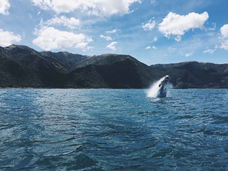 Orca in the Bay of Islands on New Zealand yacht charter