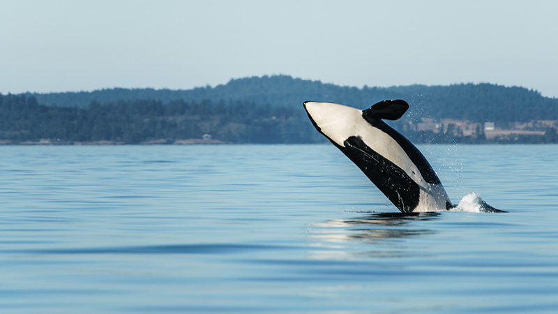 Orca sightseeing on a yacht charter itinerary in San Juan islands