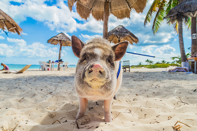 Pig in Big Major Spot on yacht charter itinerary Exumas