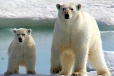 Sightseeing polar bears on yacht charter itinerary Greenland