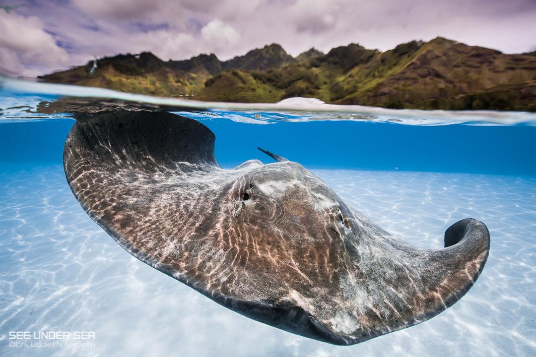Stingray on a yacht charter itinerary Tahiti
